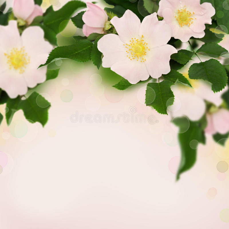 Pink flowers of wild rose. On pink background stock images