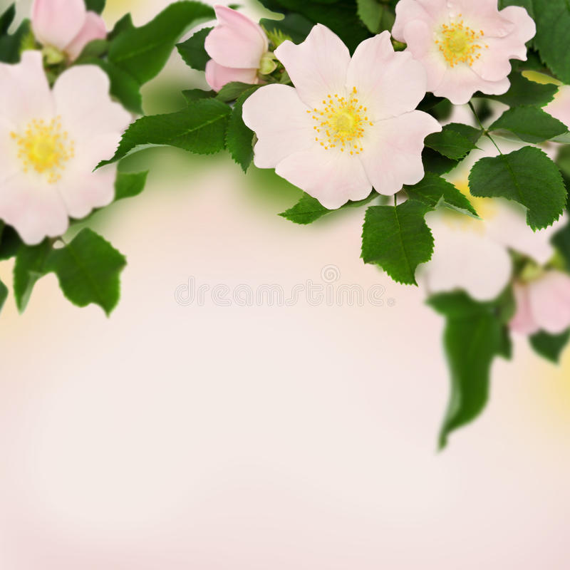 Pink flowers of wild rose. On pink background stock photos