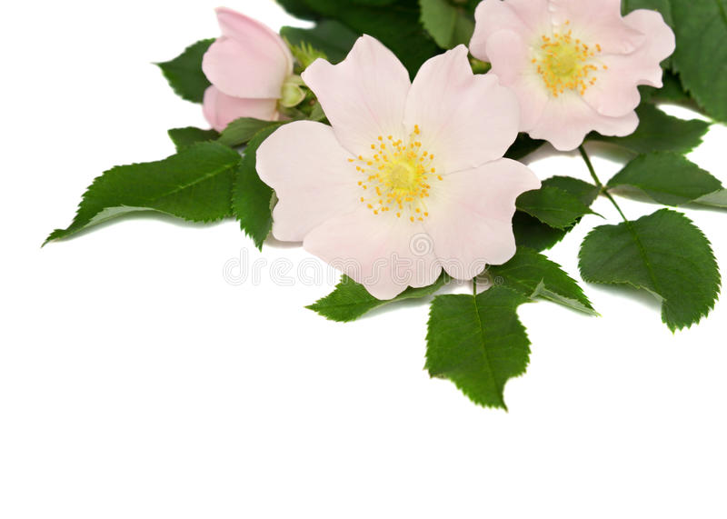 Pink flowers of wild rose. Isolated on white stock photography
