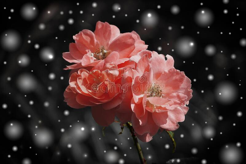 Pink flowers in winter snow royalty free stock photos