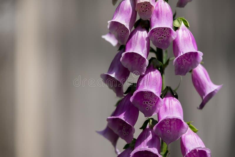 Pink foxglove in garden royalty free stock image