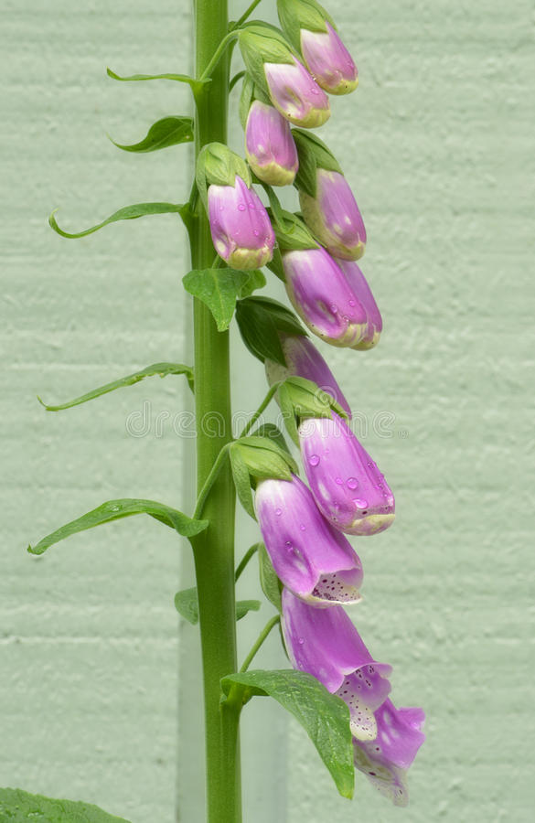 Download Pink foxgloves stock photo. Image of spring, vertical - 25105510