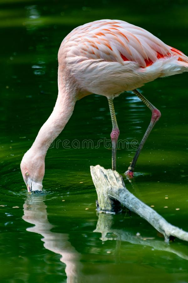 Pink framingo bird close up stock image