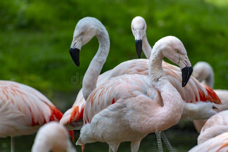 Pink framingo birds close up royalty free stock photos