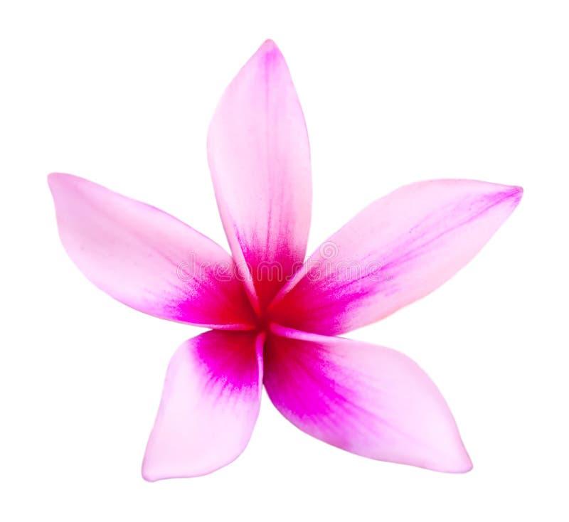 Pink frangipani royalty free stock image