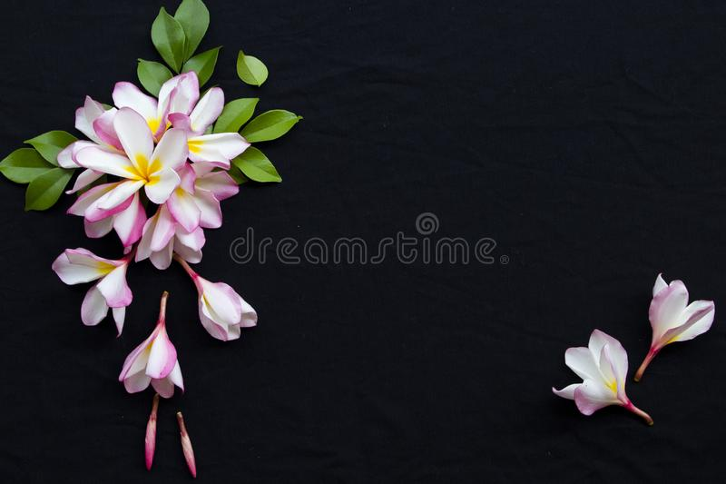 Pink frangipani decorate on background black. Pink flowers frangipani floral of asia with leaf decoration flat lay style on background black royalty free stock photos