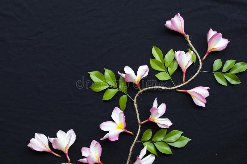Pink frangipani decorate on background black. Pink flowers frangipani floral of asia with leaf decoration flat lay style on background black royalty free stock photography