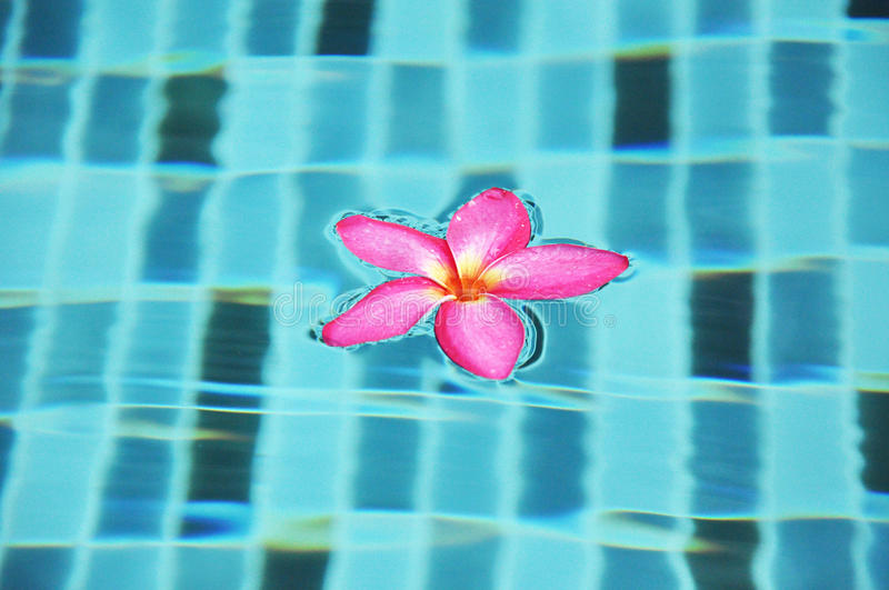 Pink Frangipani flower floating in the pool stock image