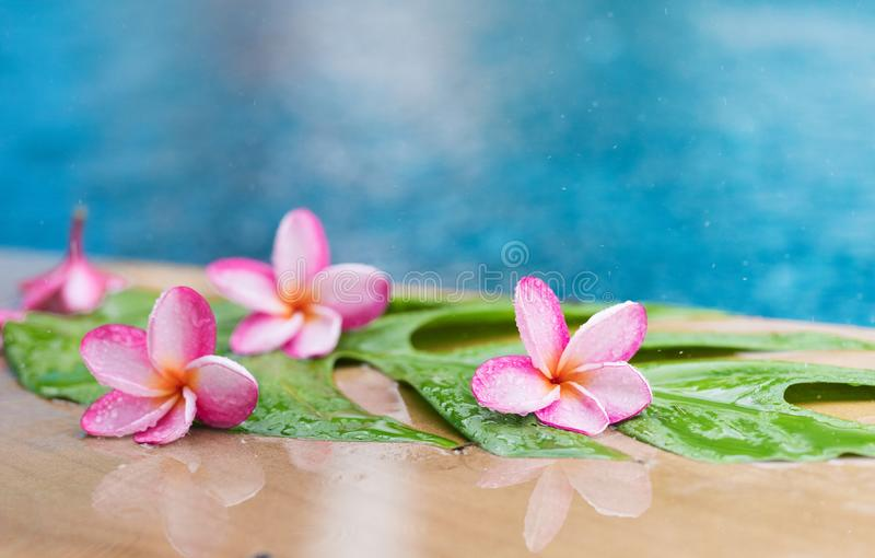 Pink frangipani plumeria flower near swimming pool in water rain stock photography