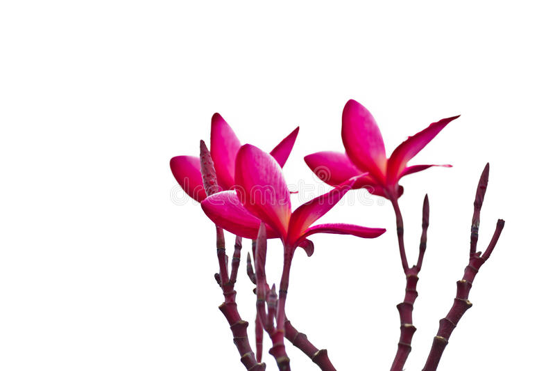 Pink Frangipani, Plumeria, Templetree,Thai flower royalty free stock images