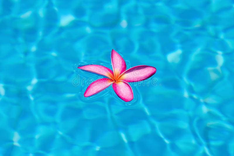 Pink frangipani in pool royalty free stock photos