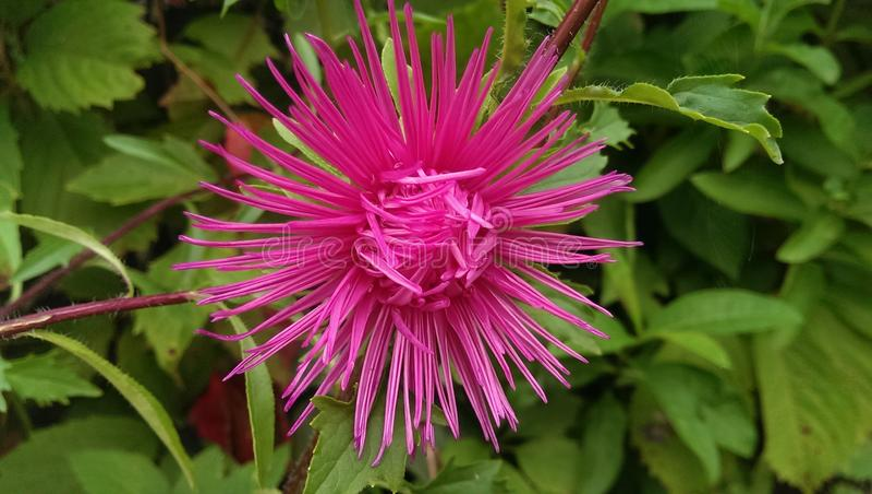 Pink fresh flower in the garden stock image