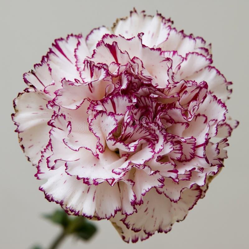 Download Pink frontal stock image. Image of fringe, blossom, color - 3527183