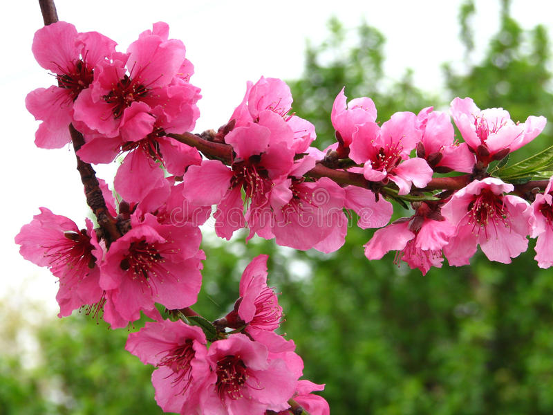 pink fruit tree blossoms 6 stock image