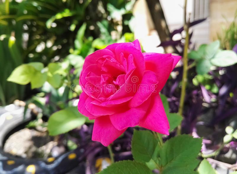 Pink fuchsia rose flower, big petals in a wild garden. Love, romance, passion. Beautiful bright pink fuchsia magenta rose flower with large petals in a wild stock photos