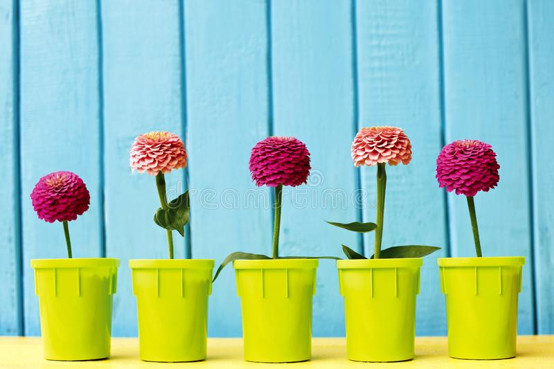 Pink and fuchsia zinnia  flowers in pots on azure and wooden background. royalty free stock photos