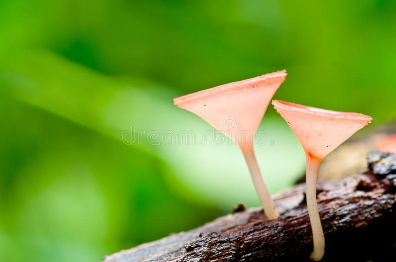 Pink fungi cup royalty free stock photography
