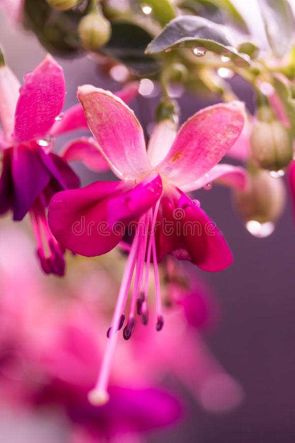 pink fuschia flowers royalty free stock image image