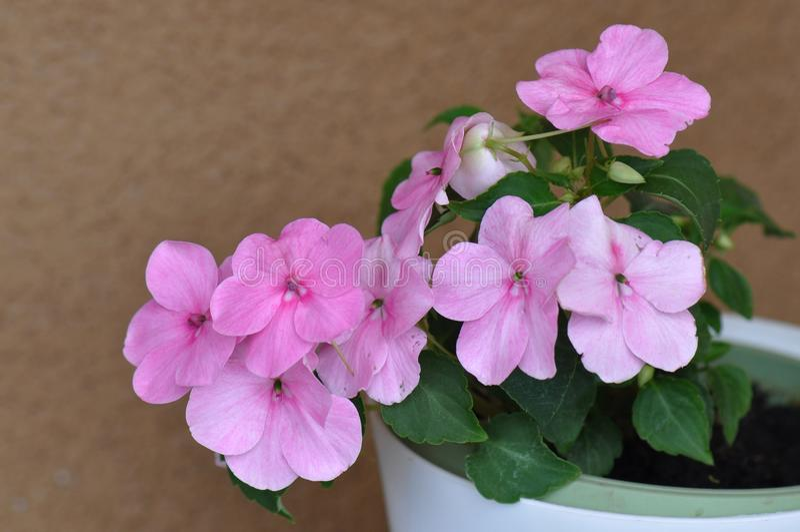 Pink garden balsam. Detail of beautiful pink garden balsam royalty free stock photography
