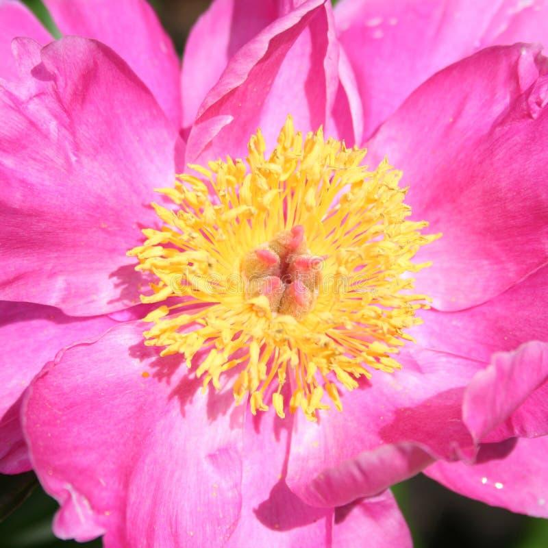 Download Pink Garden Peony (Chinese Peony) Stock Photo - Image: 25300418