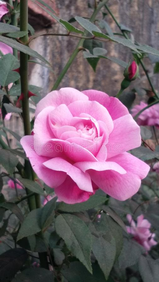 Pink garden rose beauty of a small town royalty free stock photography