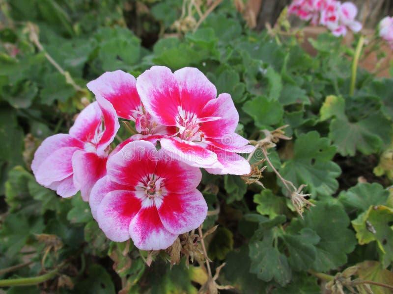 Pink gardenias stock image