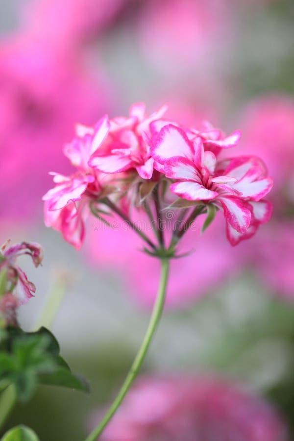 Pink geranium royalty free stock photos