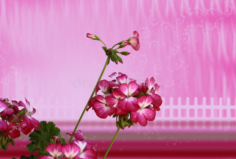 Pink Geranium Royalty Free Stock Images