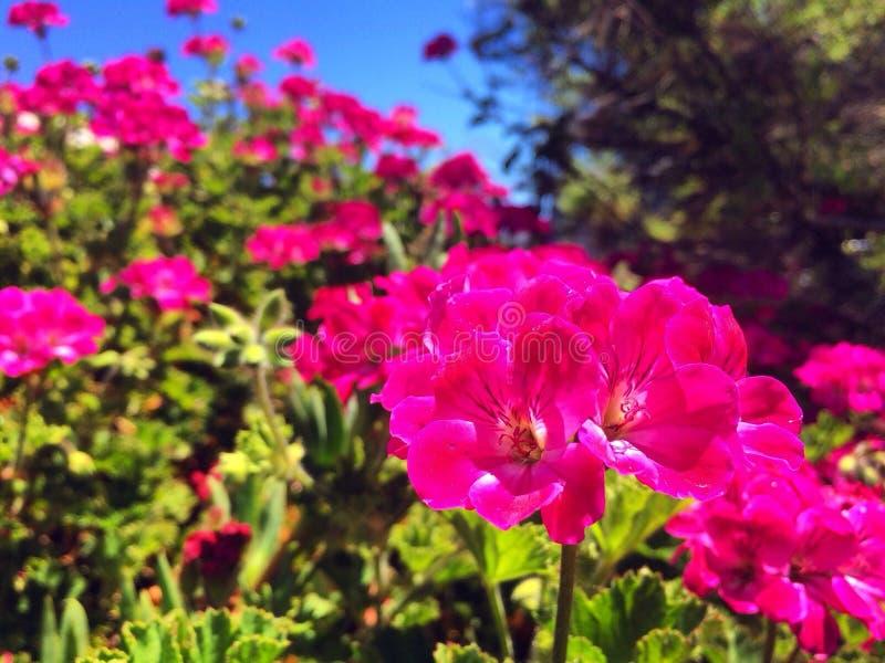 Pink Geranium flower stock photo