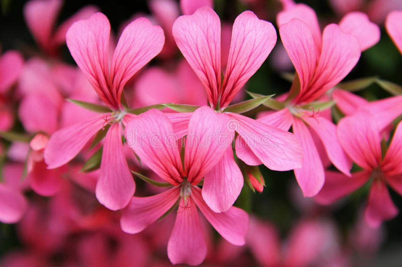 Pink Geranium Cascade flowers. Geranium is the popular name of a genus of flowering plants called Pelargonium which contains about 200 species. 20 of these stock photo
