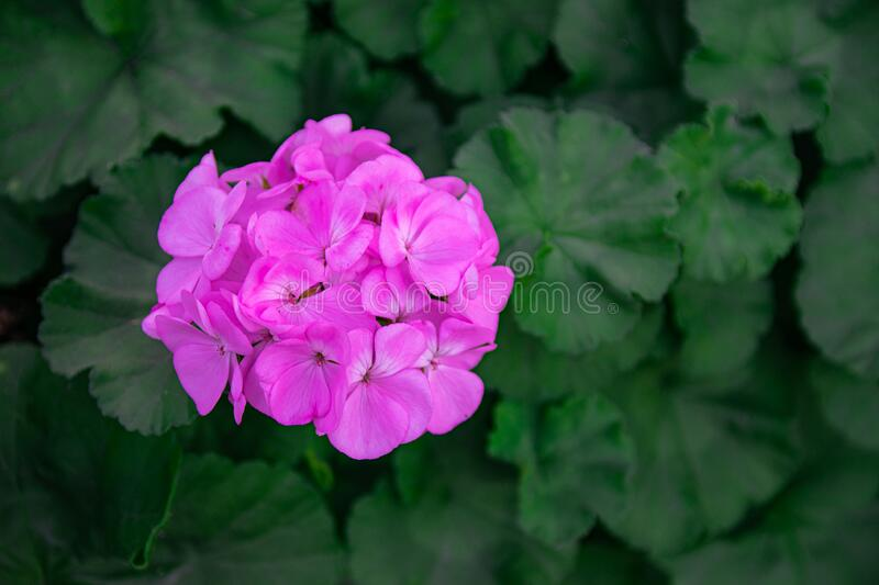 Pink geranium flower blooming. With green leaves  background stock photos