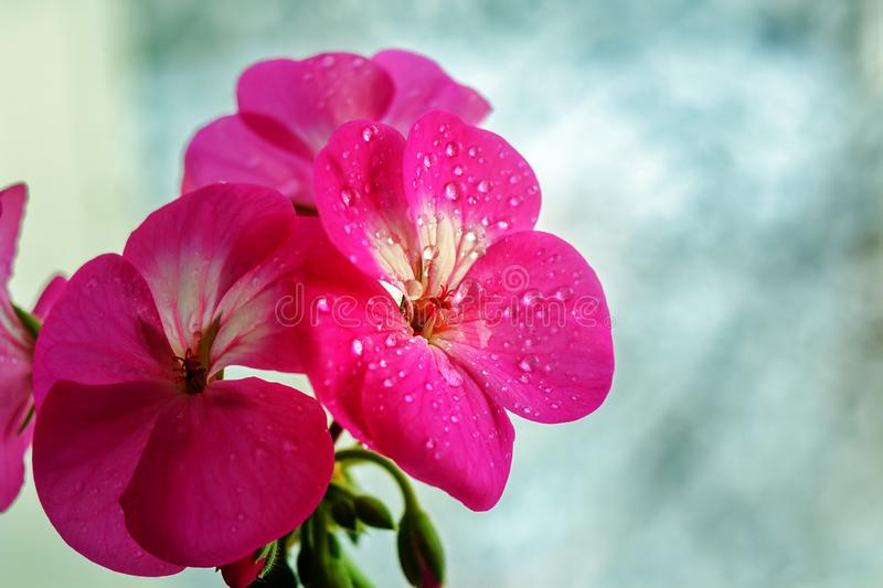 Pink geranium flower with drops of dew or water on the petals. Close-up of indoor plants on a light background.  stock photography