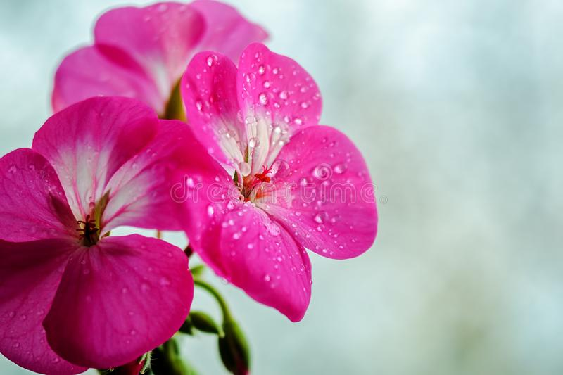 Pink geranium flower with drops of dew or water on the petals. Close-up of indoor plants on a light background.  royalty free stock images