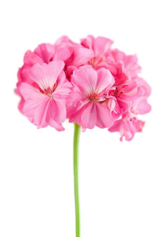 Pink geranium flower isolated stock photos