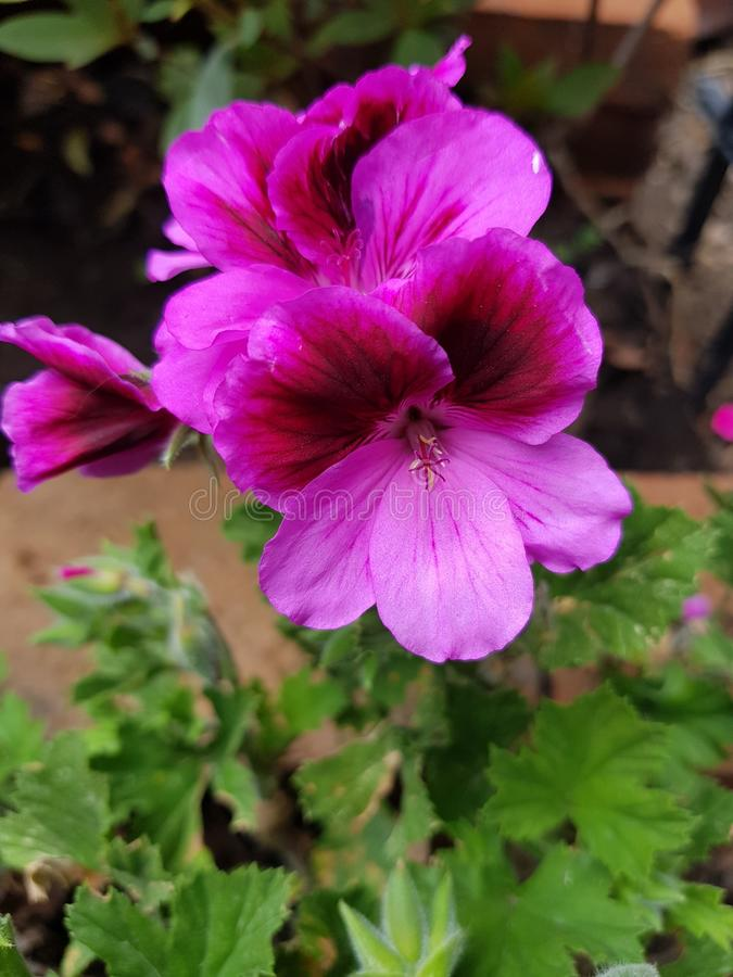 Pink geranium flower with purple in a garden. Nature and botany, natural flower with colorful petals for garden decoration stock photos