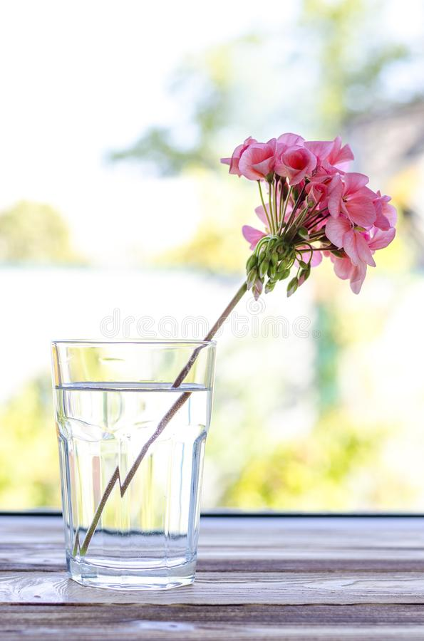 Pink geranium flower stands in a transparent glass glass with clean water on a wooden table. Against the backdrop of a summer garden, floral, natural, nature stock photos