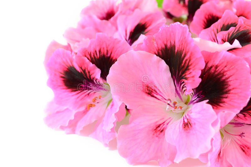 Pink geranium flowers. On white background stock photography