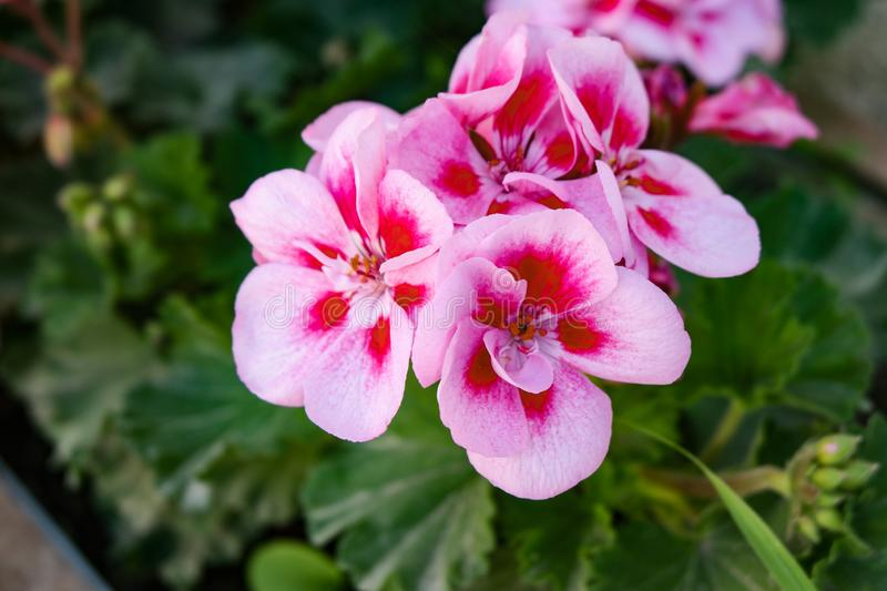 Pink geranium flowers on blurred green background, green leaves. Pink geranium flowers on a blurred green background, green leaves, colorful flowers stock photos
