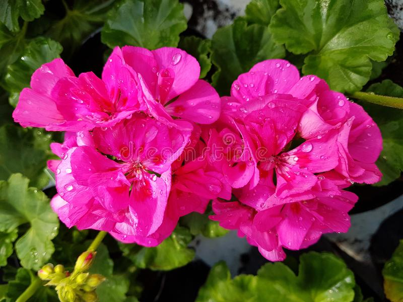 Pink geranium flower. S in a greenhouse royalty free stock image