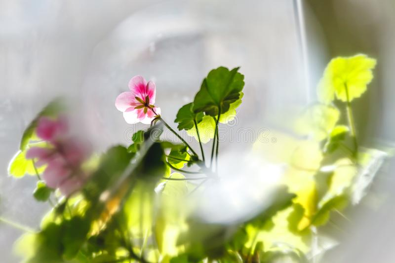 Pink geranium pelargonium flowers on a light background in creative blur.  stock images