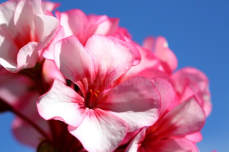 Pink geranium. Flowers on blue sky background royalty free stock images