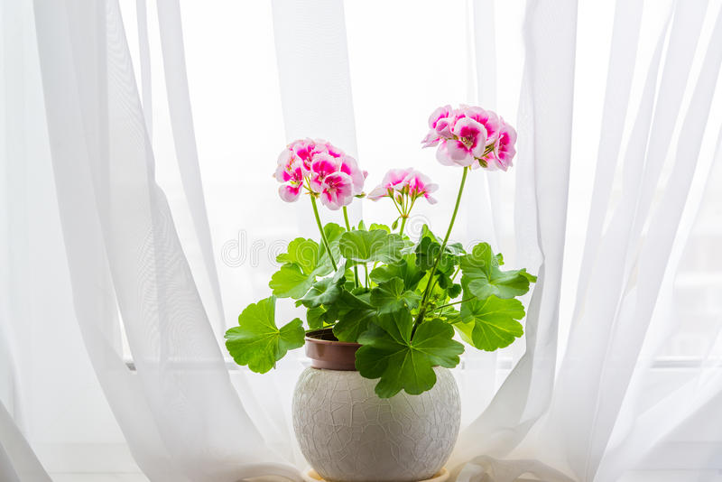 Pink geranium stand on windowsill in curtains background stock image