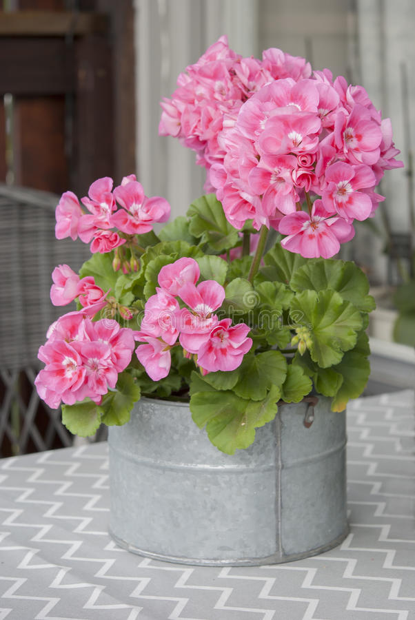 Pink geranium in zink pot royalty free stock photo