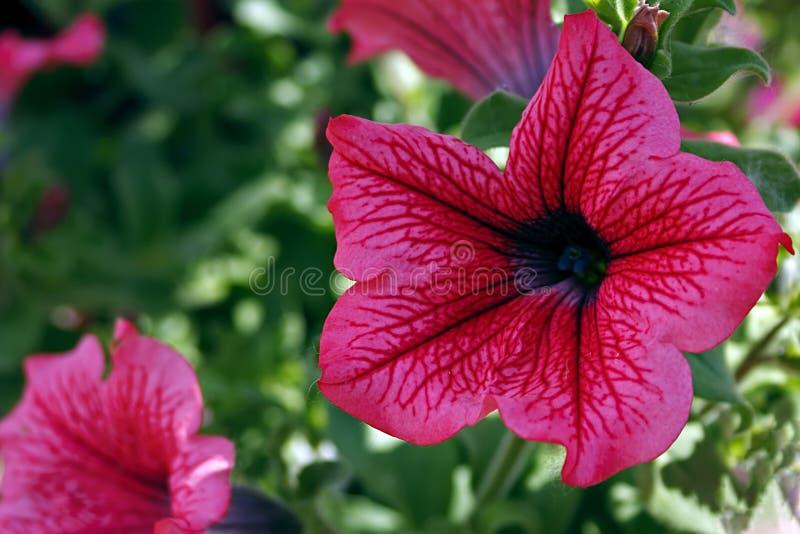 Download Pink geraniums stock image. Image of leaf, orange, head - 34864019