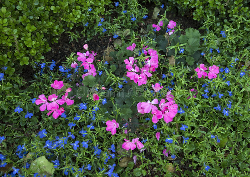Pink geraniums and lobelia erinus techno blue. A mixture of pink geraniums and lobelia erinus techno blue attract the eye at the Dallas Arboretum on a sunny stock image