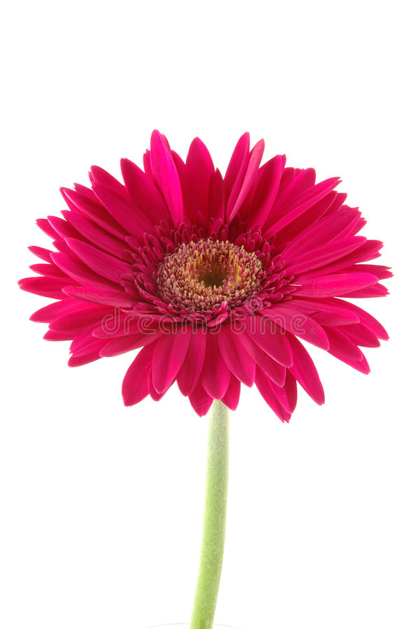 Download Pink gerber daisy stock image. Image of blossom, present - 891961