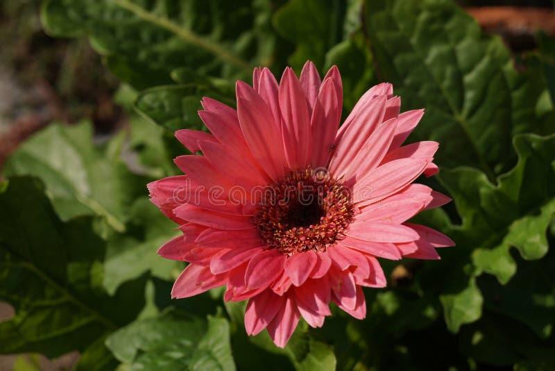 Pink Gerber Daisy royalty free stock photo