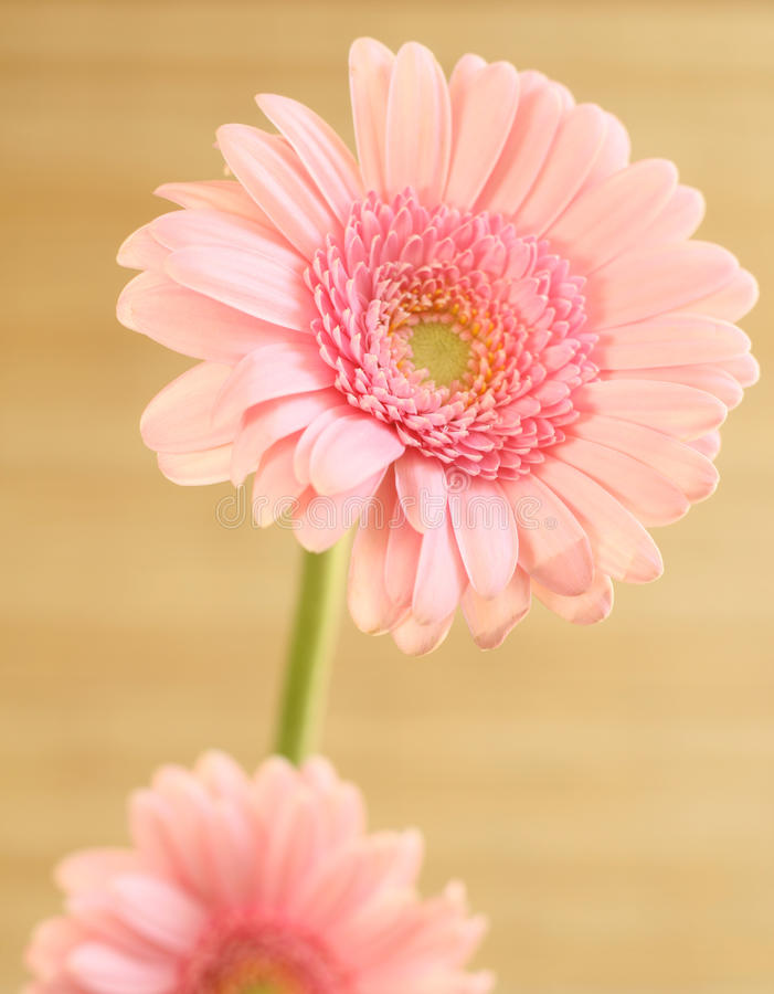 Pink gerber flower royalty free stock photography