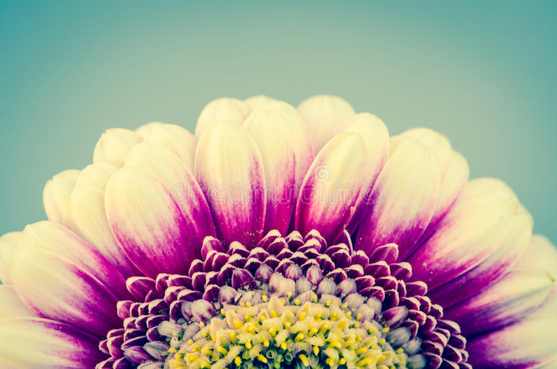 Pink gerber flower. Against blue background stock photography