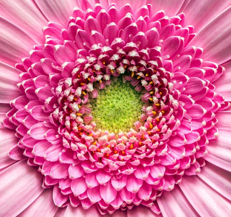 Download Pink Gerber flower stock image. Image of detail, blossom - 41156135